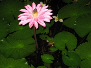 A lotus in a time of hope